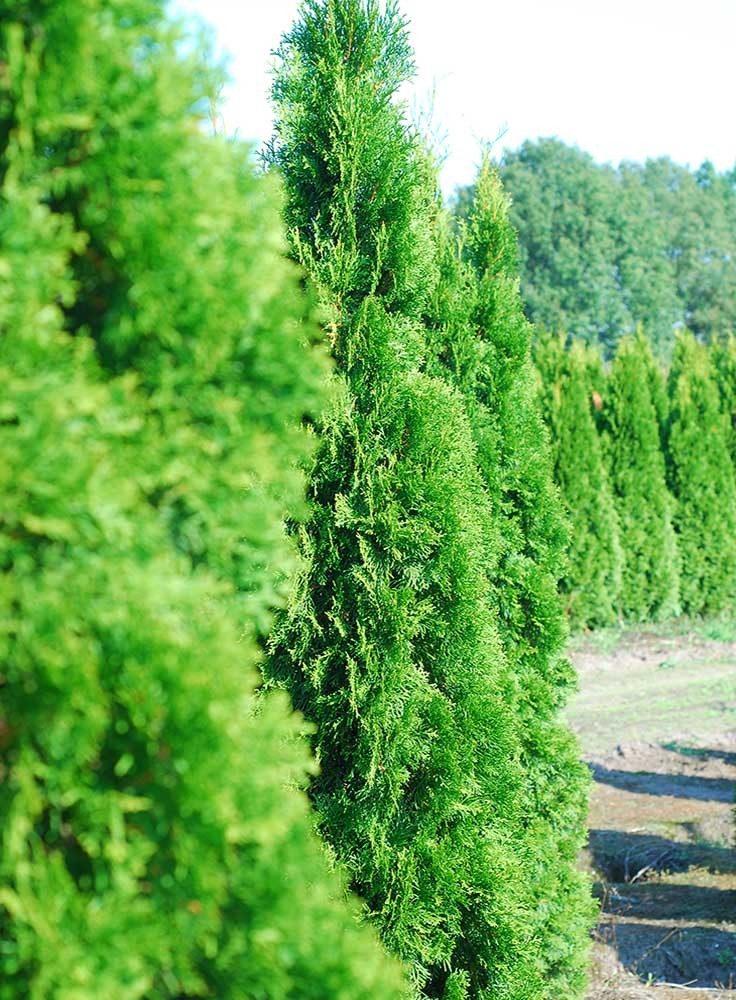 thuja smaragd 180-200cm