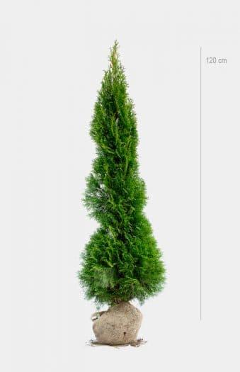 Thuja Smaragd 120cm rotklump