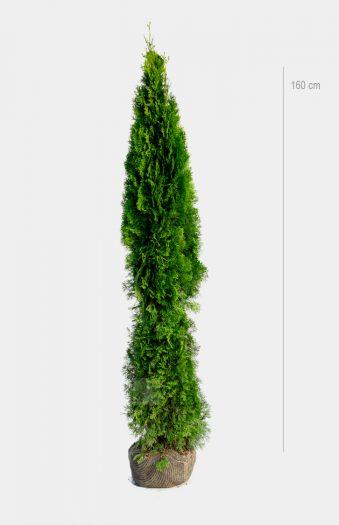 Thuja Smaragd 160cm