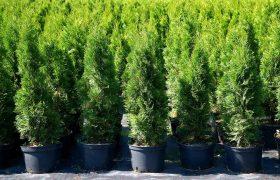 Vapaasti kasvatettu vai ruukkukasvatettu kasvi