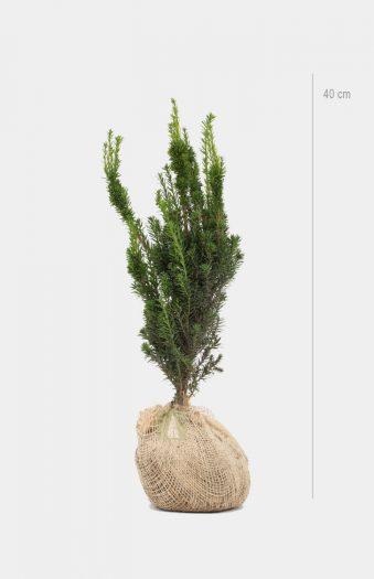 Hybrididegran Hillii 40cm Rotklump