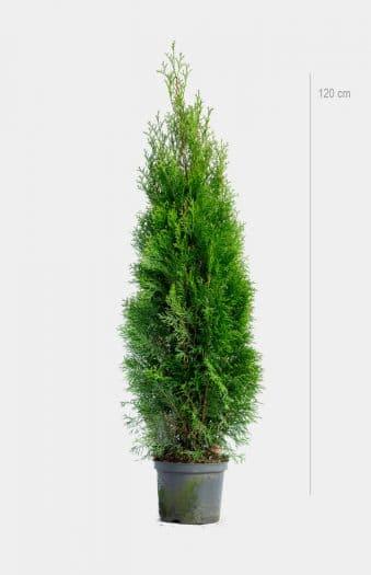 Thuja Occ Smaragd 120cm Kruka