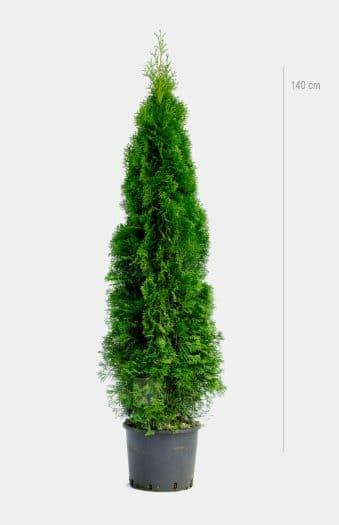 Thuja Occ Smaragd 140cm Kruka