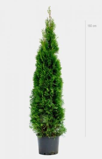 Thuja Occ Smaragd 160cm Kruka