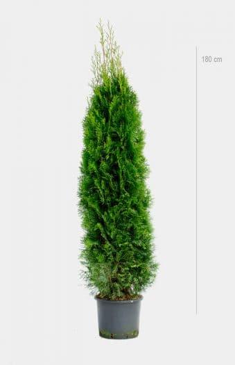 Thuja Occ Smaragd 180cm Kruka