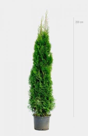 Thuja Occ Smaragd 200cm Kruka