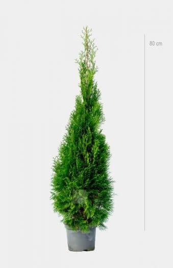 Thuja Smaragd 80cm Kruka Premium