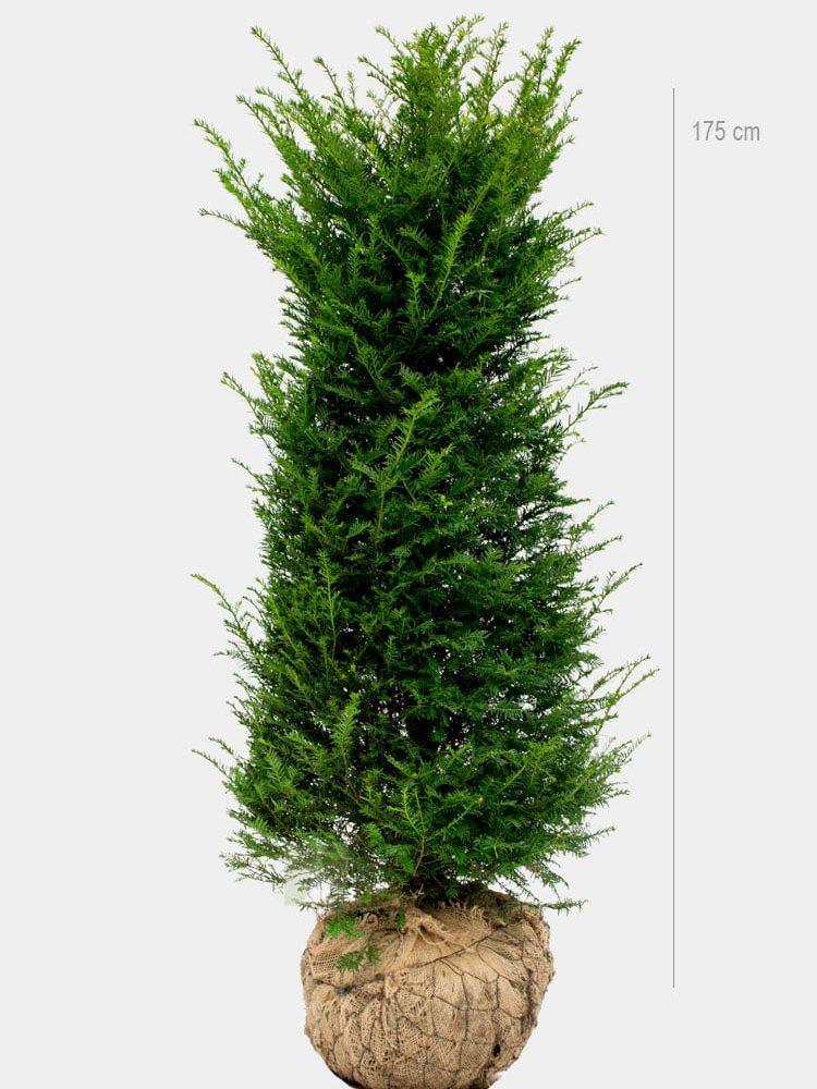 Idegran 175cm Rotklump Limited