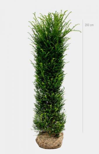 Idegran 200cm Rotklump Limited