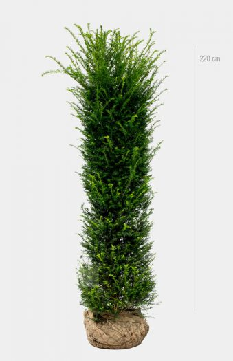 Idegran Rotklump 220cm Limited