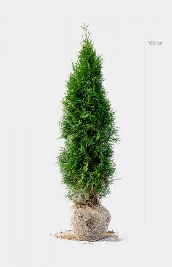 Thuja Smaragd 100cm Rotklump