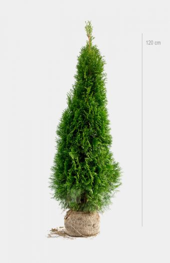 Thuja Smaragd 120cm Rotklump Limited