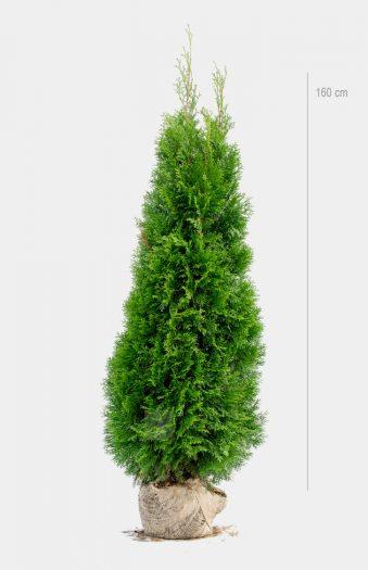 Thuja Smaragd 160cm Rotklump