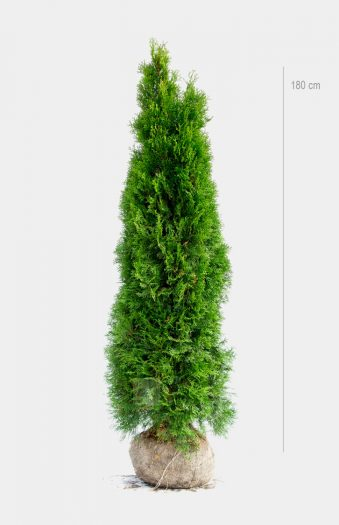 Thuja Smaragd 180cm Rotklump