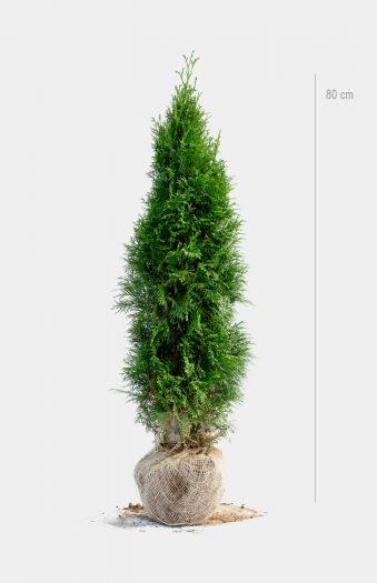 Thuja Smaragd 80cm Rotklump Limited