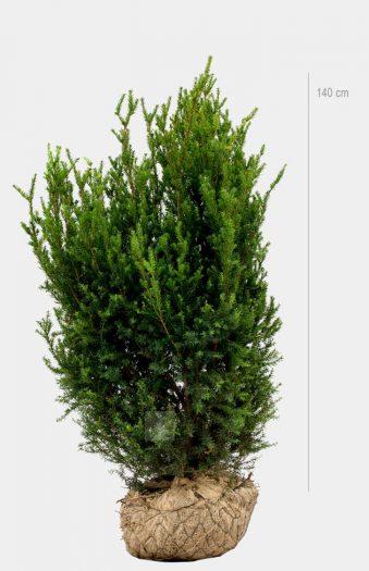 Hybrididegran Hillii 140cm Limited