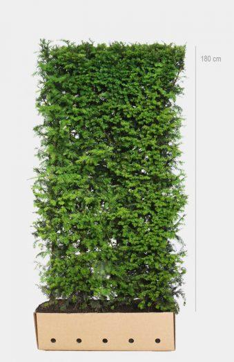 Marjakuusi (Taxus baccata),